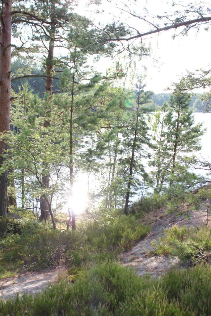Männyt ja kanervat järven rannalla. Les pins et les bruyères au bord d'un lac finlandais..